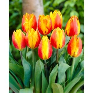 Tulipan Flair - duża paczka! - 50 szt.