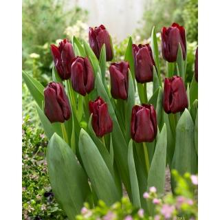 Tulipan Mascara - duża paczka! - 50 szt.