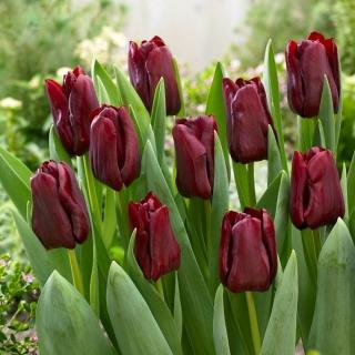 Tulipan Mascara - 5 szt.