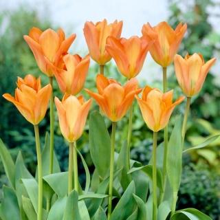 Tulipan Orange Emperor - 5 szt.