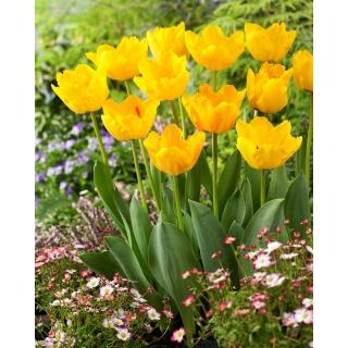 Tulipan Crystal Star - duża paczka! - 50 szt.