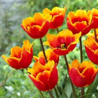 Tulipan Tiano - duża paczka! - 50 szt.
