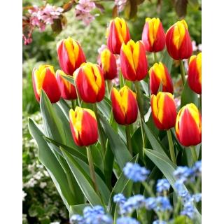 Tulipan Andre Citroen - duża paczka! - 50 szt.