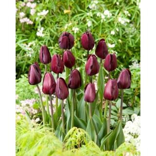 Tulipan Black Bean - duża paczka! - 50 szt.