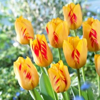 Tulipan Olympic Flame - 5 szt.