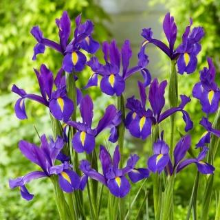 Irys holenderski - Discovery Purple - duża paczka! - 100 szt.