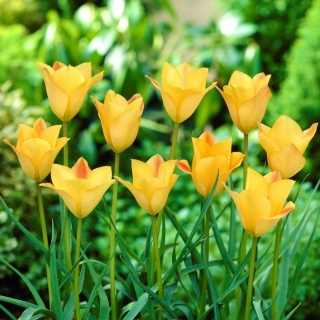 Tulipan Batalinii Bronze Charm - 5 szt.