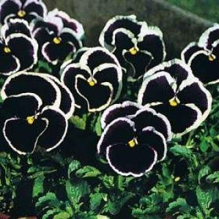 Bratek wielkokwiatowy - fioletowy z białą obwódką Gemmi