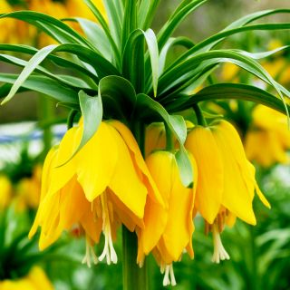 Korona Cesarska - Żółta