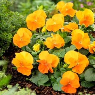 Bratek wielkokwiatowy - pomarańczowy Orange Sun