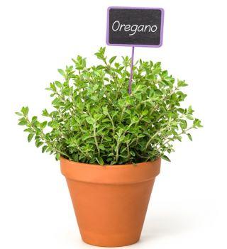 Oregano - Lebiodka pospolita