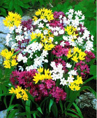 Czosnek mieszanka - Allium mix - 20 szt.