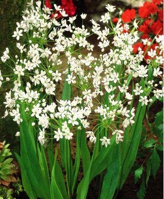 Czosnek neapolitański - Allium neapolitanum - 20 szt.