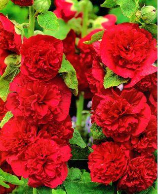 Malwa czerwona sadzonka