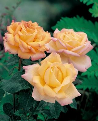 Róża wielkokwiatowa cytrynowo-różowa - sadzonka