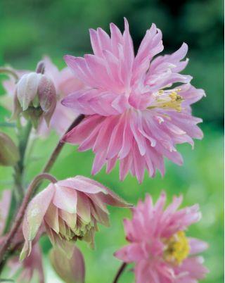 Orlik pełny różowy - Pink Barlow - 1 szt.
