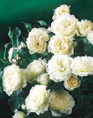 Róża rabatowa biała - sadzonka