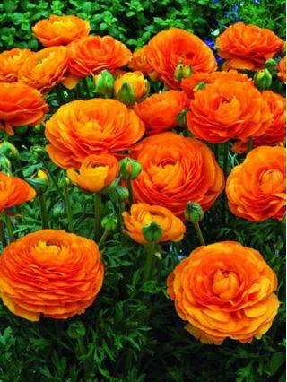Jaskier pomarańczowy - 10 szt.