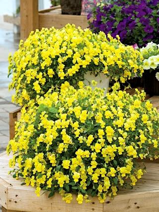 Fiołek o pędach zwisających żółty