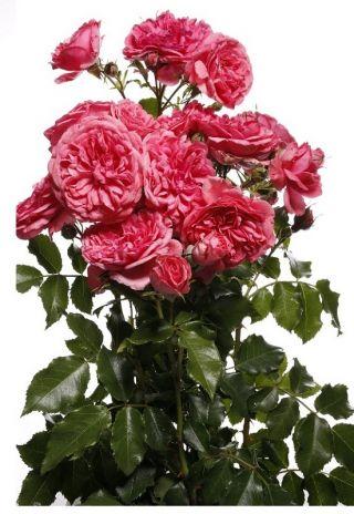 Róża parkowa różowa - sadzonka