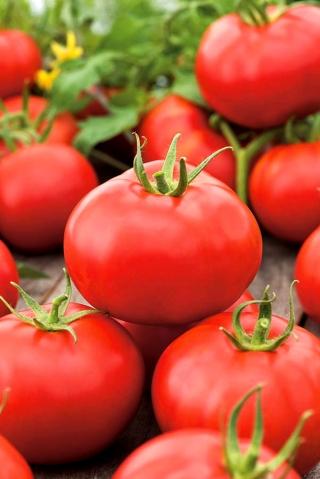 Pomidor Alka - gruntowy, siew do gruntu - NASIONA OTOCZKOWANE