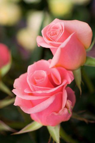 Róża wielkokwiatowa jasnoróżowa - sadzonka