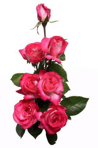 Róża wielkokwiatowa biała z różowym obrzeżeniem - sadzonka