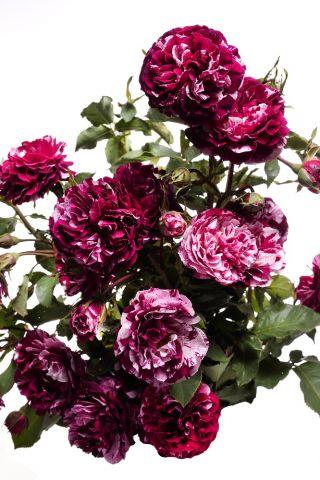 Róża wielkokwiatowa biała z bordowym nakrapianiem - sadzonka