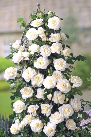 Róża pnąca biała - sadzonka