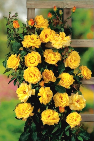 Róża pnąca żółta - sadzonka
