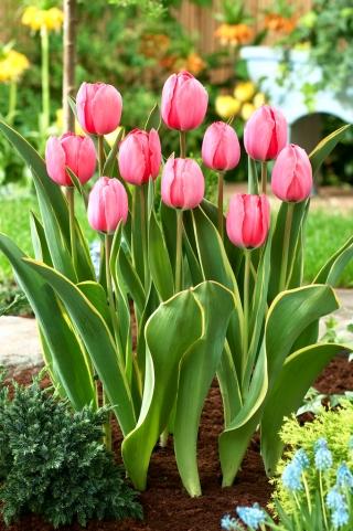Tulipan Design Impression - 5 szt.