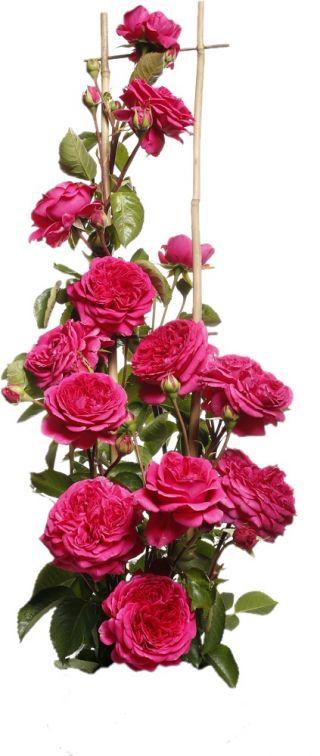 Róża pnąca ciemnoróżowa - sadzonka