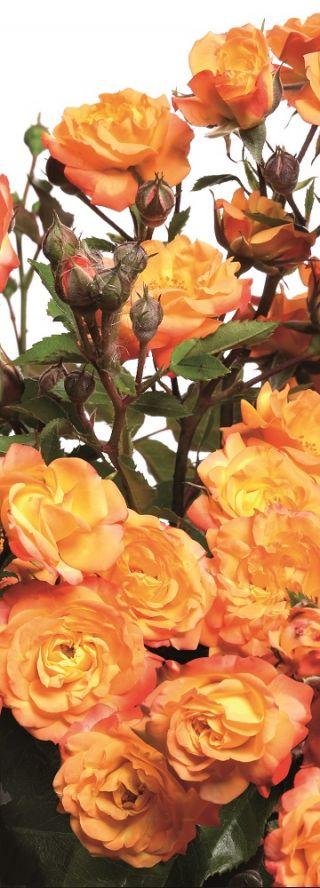ed3bf2cf1521c9 Róża rabatowa żółto-pomarańczowa - sadzonka - Sklep Świat Kwiatów ...