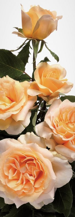 Róża wielkokwiatowa herbaciana sadzonki