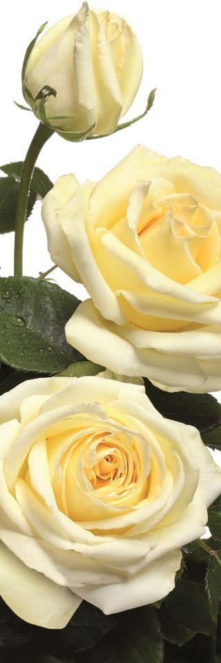 Róża wielkokwiatowa kremowa - sadzonka