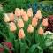 Tulipan morelowy - Apricot - 5 szt.