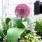 Czosnek ozdobny niski z dużym kwiatostanem - Red Giant
